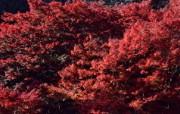 红叶 宽屏壁纸 壁纸7 红叶 宽屏壁纸 植物壁纸