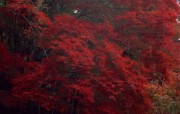 红叶 宽屏壁纸 壁纸11 红叶 宽屏壁纸 植物壁纸