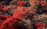 红叶 宽屏壁纸 壁纸12 红叶 宽屏壁纸 植物壁纸