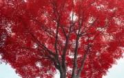 红叶 宽屏壁纸 壁纸14 红叶 宽屏壁纸 植物壁纸