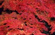 红叶 宽屏壁纸 壁纸24 红叶 宽屏壁纸 植物壁纸