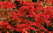 红叶 宽屏壁纸 壁纸29 红叶 宽屏壁纸 植物壁纸