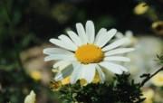 菊花 植物壁纸