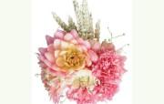 康乃馨花卉壁纸 康乃馨花卉壁纸 植物壁纸