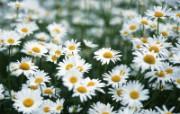 可人雪白花朵 植物壁纸