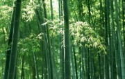 绿色竹情壁纸 植物壁纸