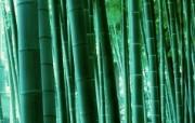 绿色竹情壁纸 绿色竹情壁纸 植物壁纸