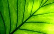 绿叶高清壁纸 壁纸9 绿叶高清壁纸 植物壁纸
