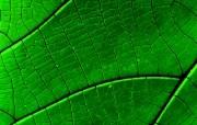 绿叶高清壁纸 壁纸21 绿叶高清壁纸 植物壁纸