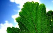 绿叶高清壁纸(第二集 植物壁纸