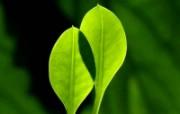 绿叶高清壁纸 第二集 壁纸2 绿叶高清壁纸(第二集 植物壁纸