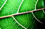 绿叶高清壁纸 第二集 壁纸8 绿叶高清壁纸(第二集 植物壁纸