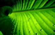 绿叶高清壁纸 第二集 壁纸9 绿叶高清壁纸(第二集 植物壁纸