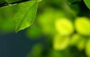 绿叶高清壁纸 第二集 壁纸18 绿叶高清壁纸(第二集 植物壁纸