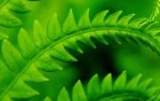 绿叶高清壁纸 第二集 壁纸28 绿叶高清壁纸(第二集 植物壁纸
