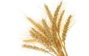 麦穗麦田 宽屏壁纸 壁纸4 麦穗麦田 宽屏壁纸 植物壁纸