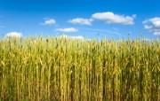 麦穗麦田 宽屏壁纸 壁纸6 麦穗麦田 宽屏壁纸 植物壁纸