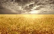 麦穗麦田 宽屏壁纸 壁纸8 麦穗麦田 宽屏壁纸 植物壁纸