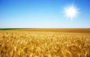 麦穗麦田 宽屏壁纸 壁纸10 麦穗麦田 宽屏壁纸 植物壁纸