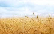 麦穗麦田 宽屏壁纸 壁纸17 麦穗麦田 宽屏壁纸 植物壁纸