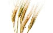 麦穗麦田 宽屏壁纸 壁纸24 麦穗麦田 宽屏壁纸 植物壁纸