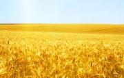 麦穗麦田 宽屏壁纸 壁纸29 麦穗麦田 宽屏壁纸 植物壁纸
