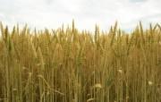 麦穗麦田 宽屏壁纸 壁纸30 麦穗麦田 宽屏壁纸 植物壁纸