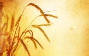 麦穗麦田 宽屏壁纸 壁纸31 麦穗麦田 宽屏壁纸 植物壁纸