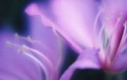 朦胧风格花卉宽屏壁纸 壁纸23 朦胧风格花卉宽屏壁纸 植物壁纸