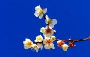 梅花 植物壁纸