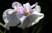 美丽盛开 山崎花壁纸 美丽盛开 山崎花壁纸 植物壁纸