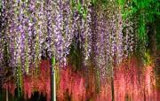 美丽紫藤壁纸 植物壁纸