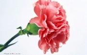 母亲节献礼 康乃馨宽屏壁纸 母亲节献礼 康乃馨宽屏壁纸 植物壁纸