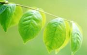 清凉绿叶壁纸 植物壁纸