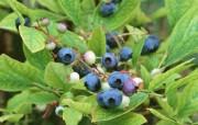 硕果累累 新鲜蓝莓 硕果累累 新鲜蓝莓 植物壁纸