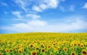 向日葵 葵花 宽屏壁纸 壁纸1 向日葵 葵花 宽屏壁纸 植物壁纸