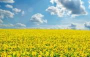 向日葵 葵花 宽屏壁纸 壁纸8 向日葵 葵花 宽屏壁纸 植物壁纸