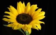 向日葵 葵花 宽屏壁纸 壁纸10 向日葵 葵花 宽屏壁纸 植物壁纸