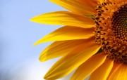 向日葵 葵花 宽屏壁纸 壁纸15 向日葵 葵花 宽屏壁纸 植物壁纸