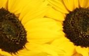 向日葵 葵花 宽屏壁纸 壁纸31 向日葵 葵花 宽屏壁纸 植物壁纸