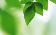 夏日气息 阳光水滴 清新绿叶高清壁纸 壁纸41 夏日气息:阳光水滴 植物壁纸