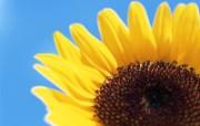 欣欣向荣!向日葵系列壁纸 植物壁纸