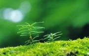 新芽嫩叶高清绿色植物壁纸 三 壁纸11 新芽嫩叶高清绿色植物 植物壁纸