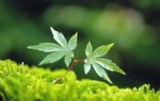 新芽嫩叶高清绿色植物壁纸 三 壁纸21 新芽嫩叶高清绿色植物 植物壁纸