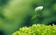 新芽嫩叶高清绿色植物壁纸 三 壁纸22 新芽嫩叶高清绿色植物 植物壁纸