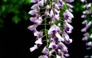 紫藤 植物壁纸